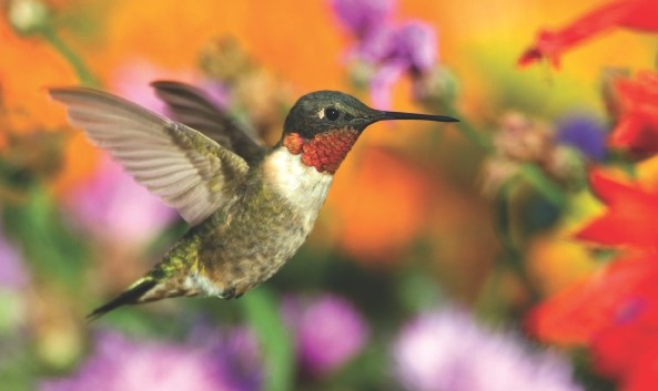 Migration – Why Birds Take the Risk