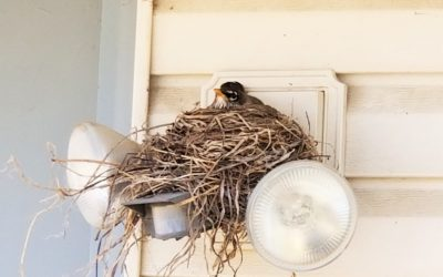 Robins – A Sign of Spring