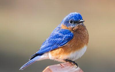 Bluebird Basics