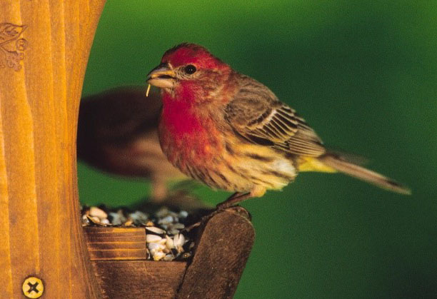 Fun Facts about House Finches